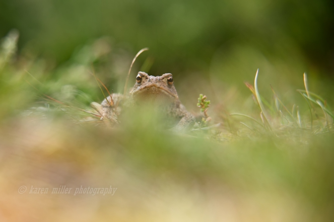 Common Toad © Karen Miller