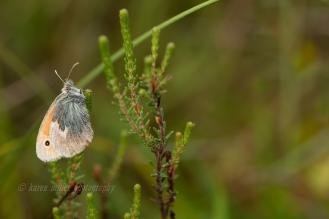Small Heath Butterfly © Karen Miller