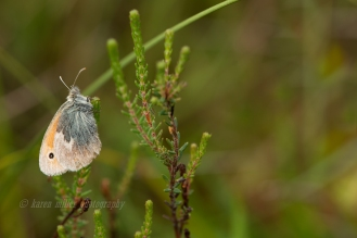 Small Heath Butterfly © Karen Miller