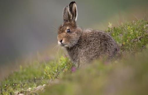 Mountain Hare © Karen Miller