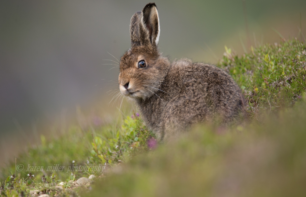 Mountain Hare-4
