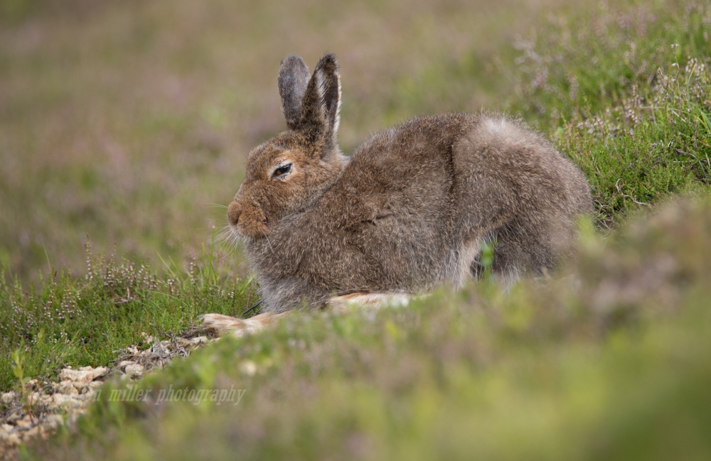 Mountain Hare-9