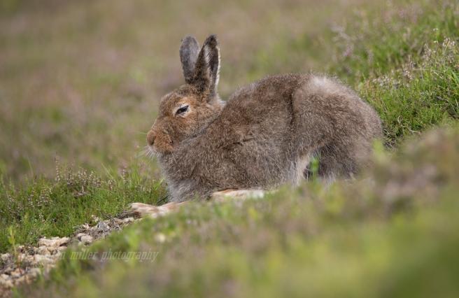 Mountain Hare-9