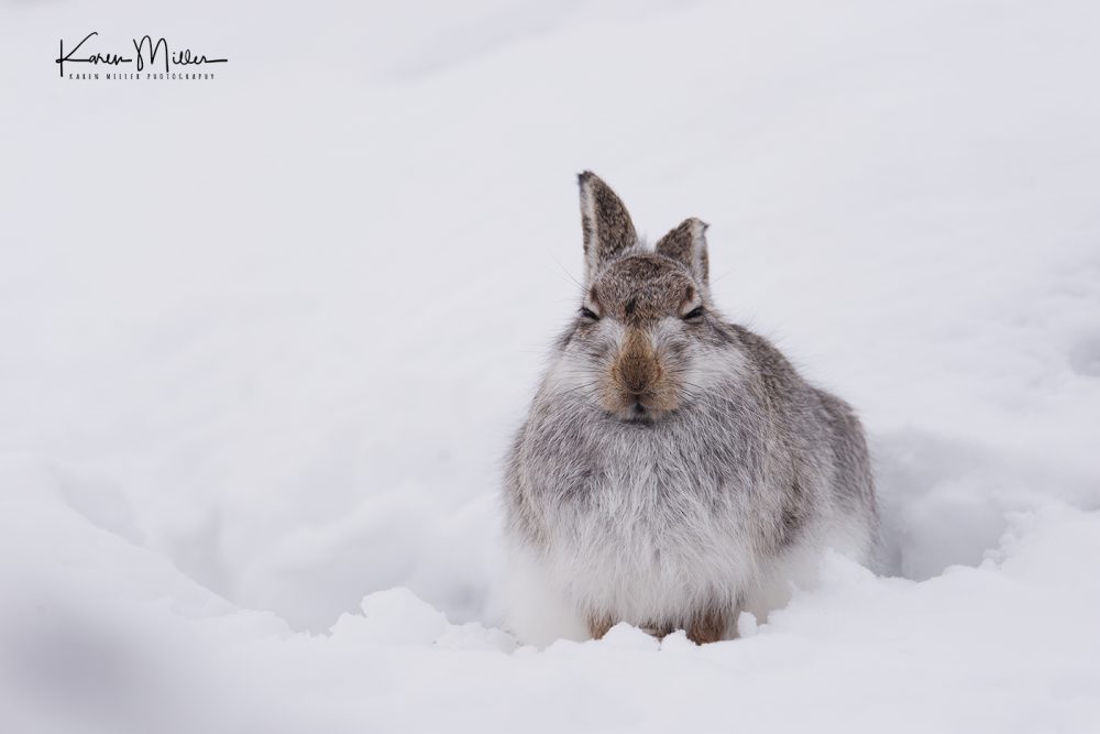 mountainhare09