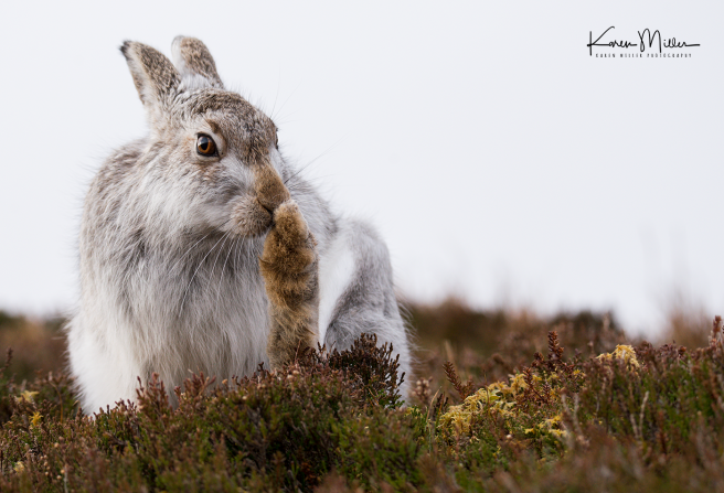 mountainhare18