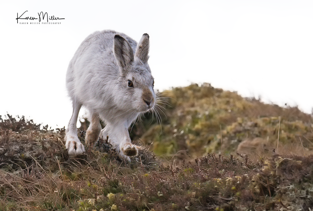 mountainhare43