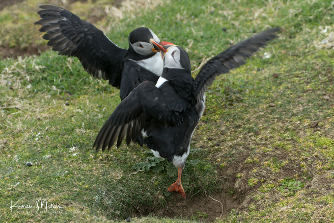 puffin_fight04
