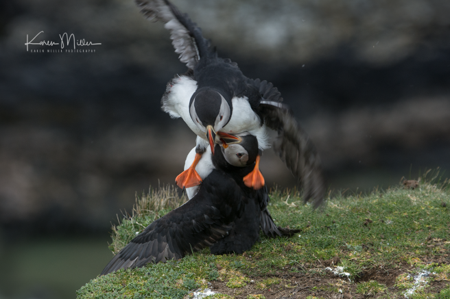 puffin_fight10