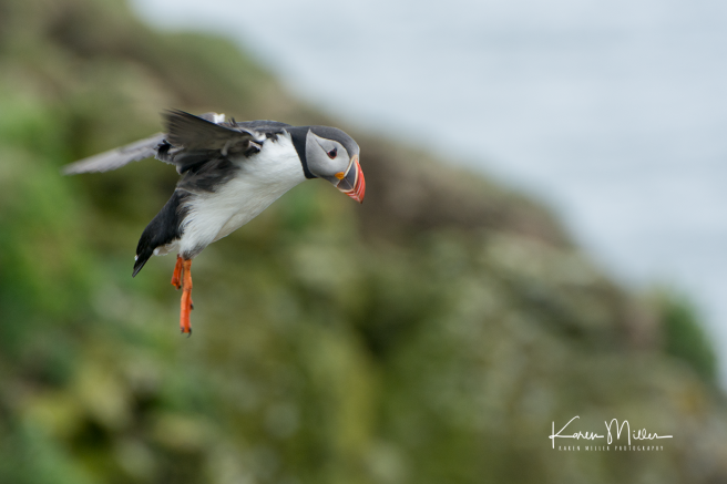 puffin_flying5