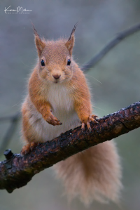 RedSquirrel-6