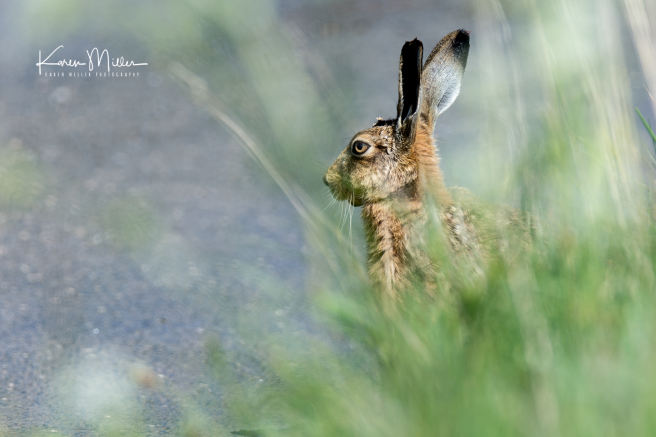 brownhare_May2017-3146