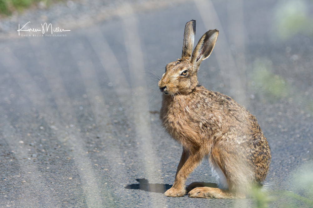 brownhare_May2017-3159