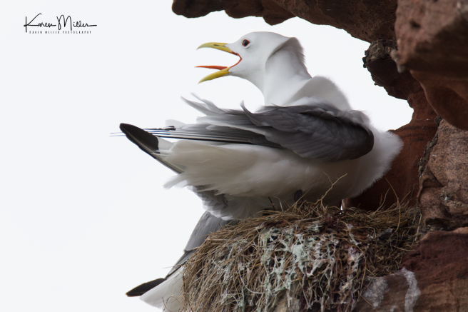 Kittiwakes_May2017-2501