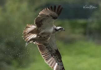 Highlands_osprey_Aug2017_png_c-1236