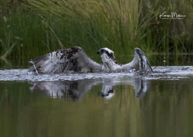 Highlands_osprey_Aug2017_png_c-1274