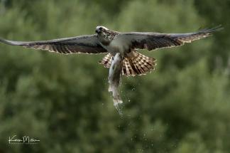 Highlands_osprey_Aug2017_png_c-1345