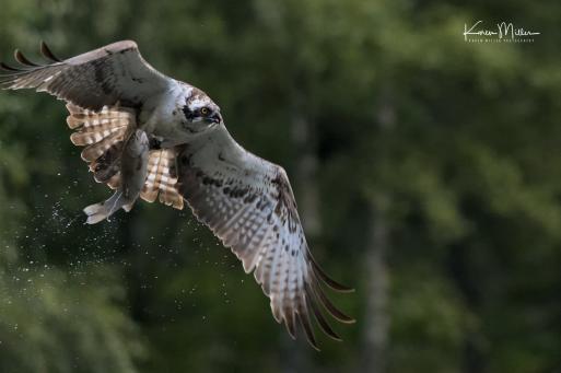 Highlands_osprey_Aug2017_png_c-1399
