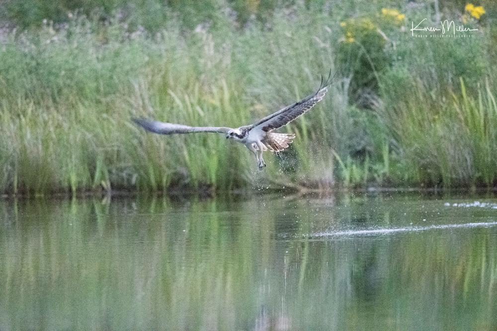 Highlands_osprey_Aug2017_png_c-demo-1114