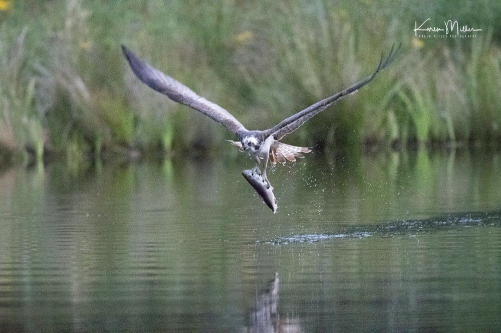 Highlands_osprey_Aug2017_png_c_demo-1155