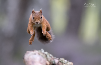 red-squirrel-jumping_36174820523_o