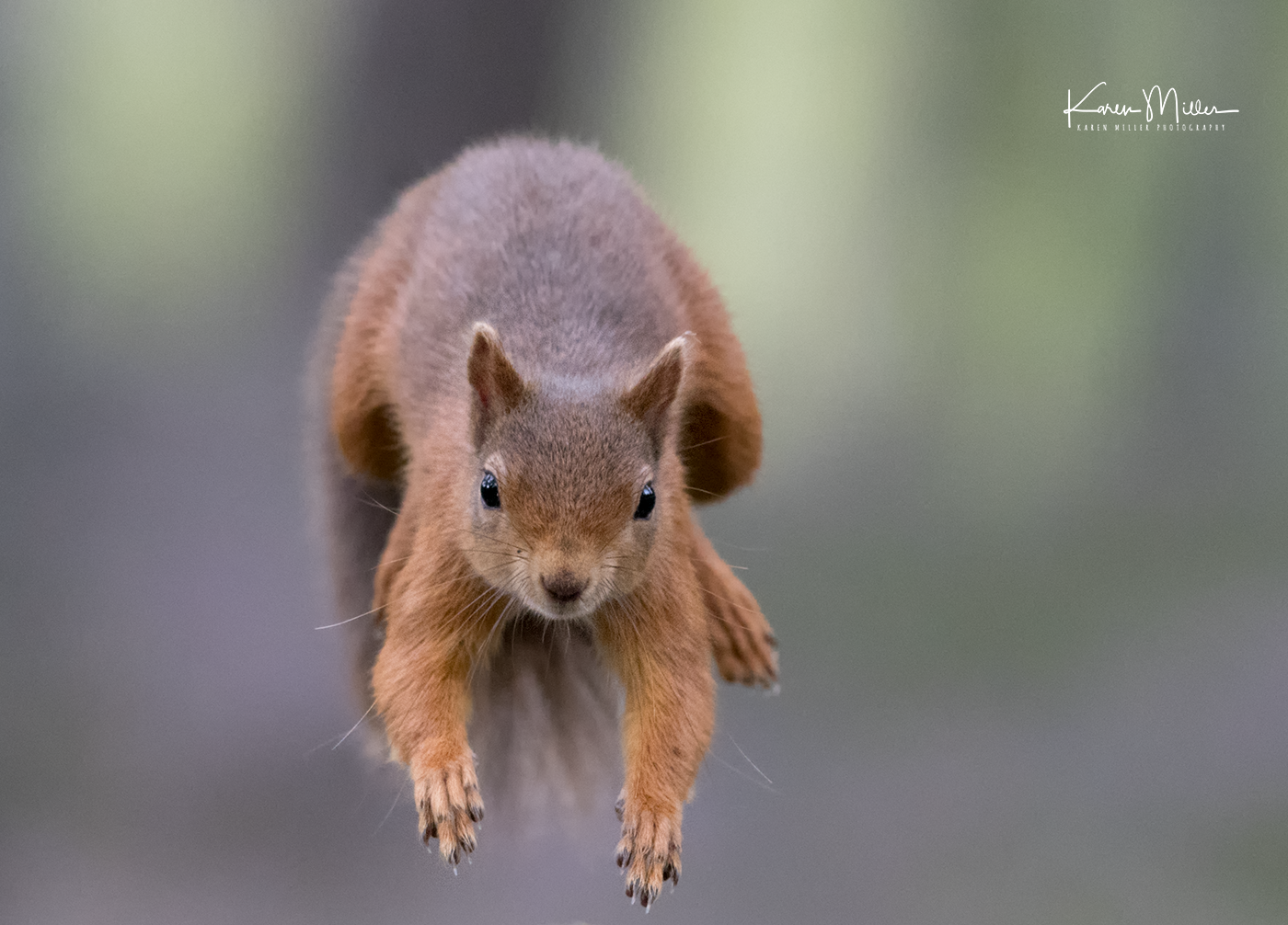 red-squirrel-jumping_36795848296_o