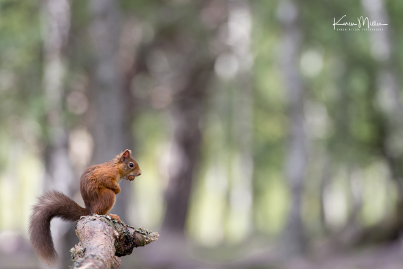 red-squirrel_36147390614_o