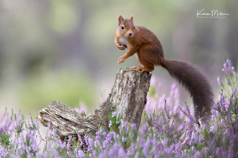red-squirrel_36174298963_o