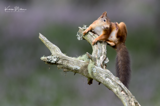 red-squirrel_36795330766_o