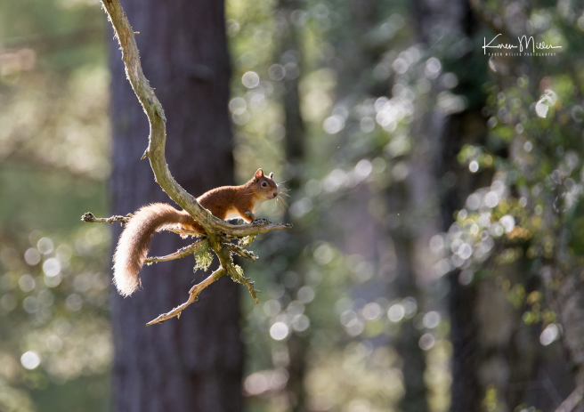 red-squirrel_36811915112_o