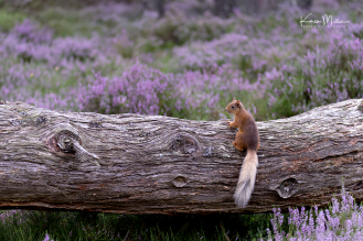 red-squirrel_36983282045_o
