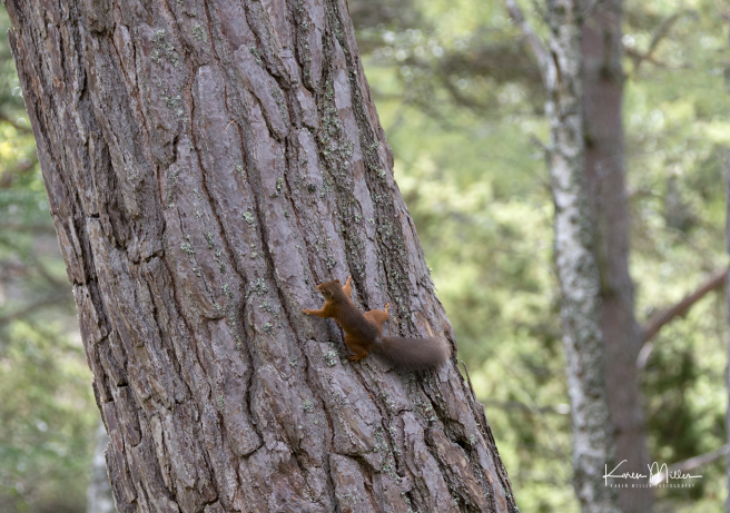 red-squirrel_36983353045_o