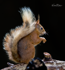 Perthshire_30July_RedSquirrel_png_c_0162