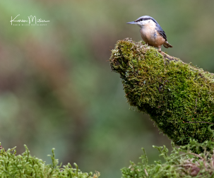 SPH_nuthatch_Oct2017_png_c-7982b