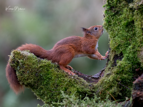 SPH_redsquirrel_Oct2017_png_c-7754