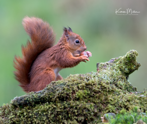 SPH_redsquirrel_Oct2017_png_c-7772_square