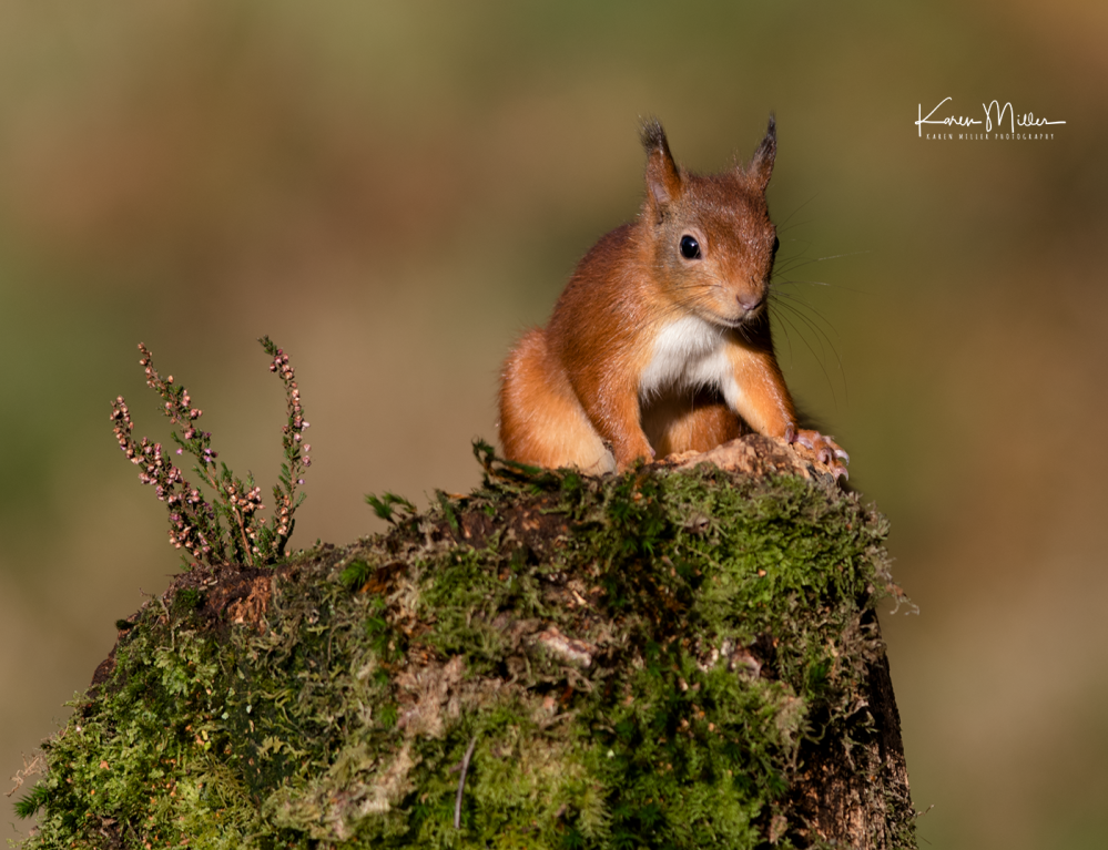 SPH_redsquirrel_Oct2017_png_c-8167
