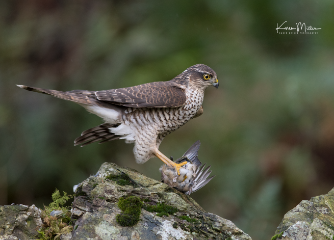 SPH_sparrowhawk_Oct2017_png_c-7941
