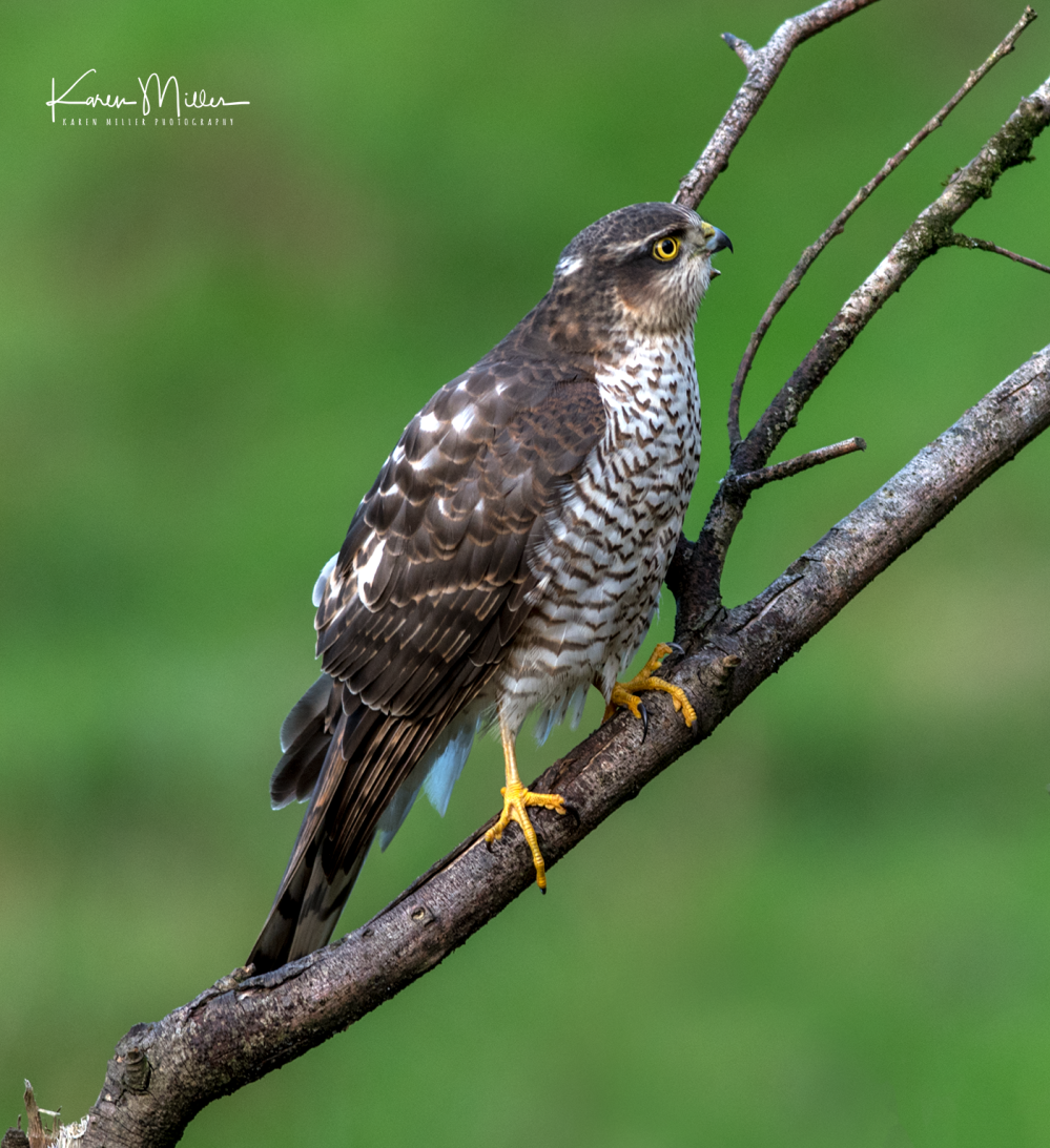 SPH_sparrowhawk_Oct2017_png_c-8499
