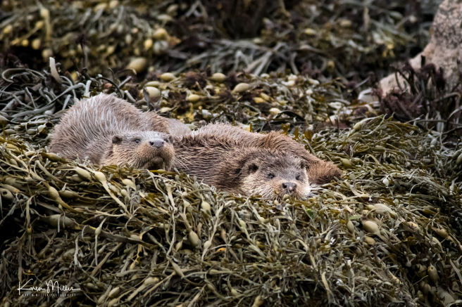 otters_sunday_png_c-0061