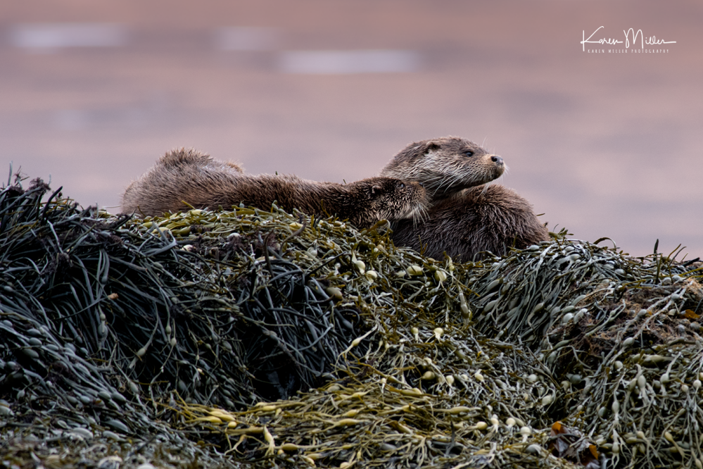 otters_sunday_png_c-9862