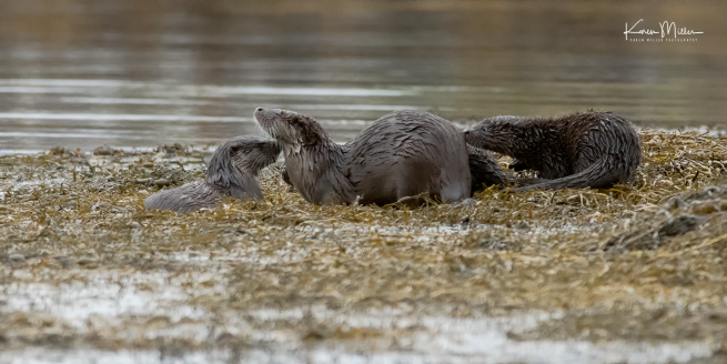 otters_wednesday_png_c-2220