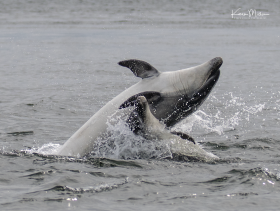 Highlands_dolphins_Aug2017_png_c-2595