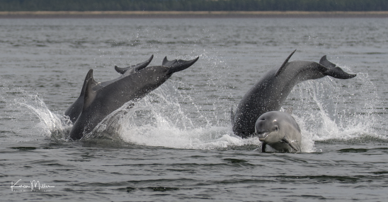 Highlands_dolphins_Aug2017_png_c-2686