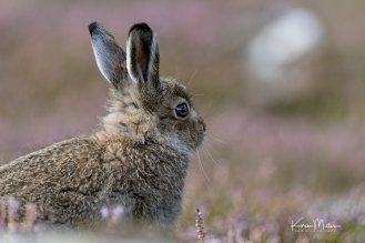 Highlands_mountainhare_Aug2017_png_c-4335
