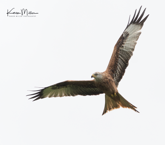 RedKite_Bellymack_oct17_png_c-6267