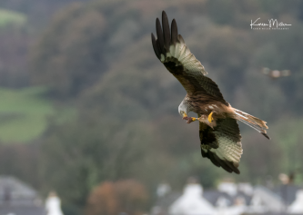 RedKite_Bellymack_oct17_png_c-6699