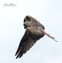 RedKite_Bellymack_oct17_png_c-6988