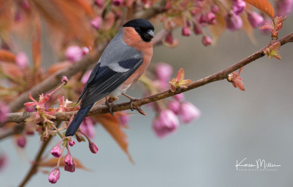 bullfinch_fb