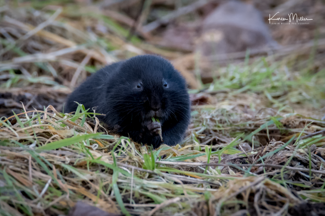 watervole_Jan18-png_c-8891