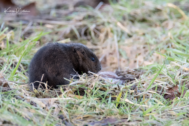 watervole_Jan18-png_c-9144